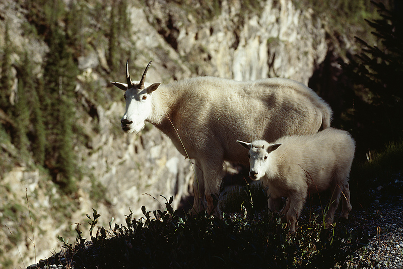 A mountain goat and a baby mountain goat