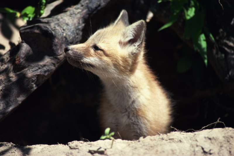 a baby fox coming out of its den