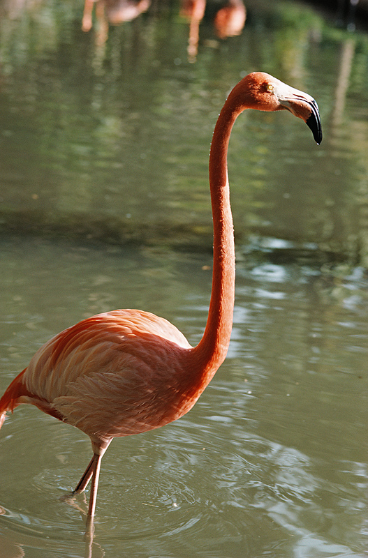 a flamingo walking in the water