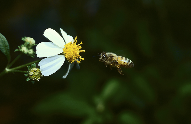 a bee flying up to a flower