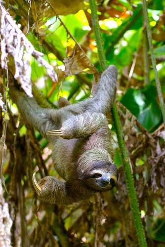 A sloth is hanging upside down from a tree branch.