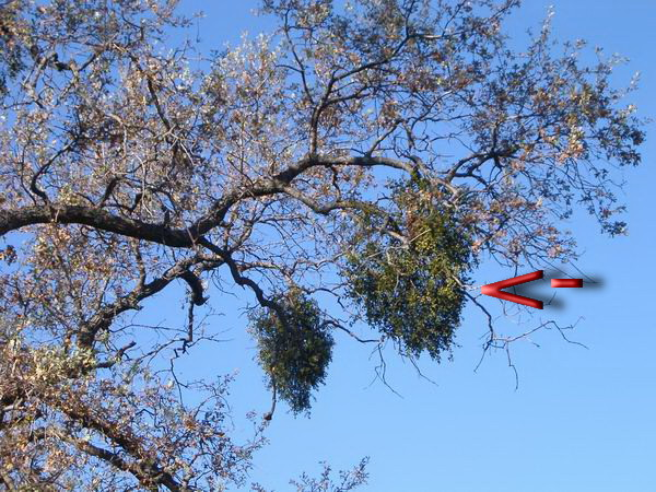 Mistletoles hanging on a tree
