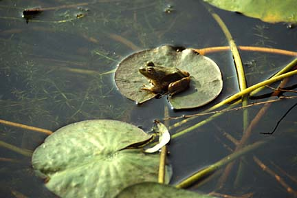 Frog sitting on a water lily