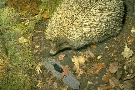 Hedgehog with its sharp spines.