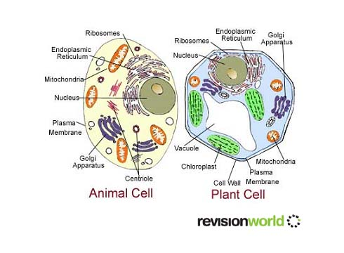 animal cell worksheet. Animal+cell+diagram+with+