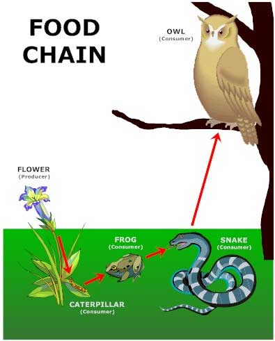 food chain tiger. learn about food chains!