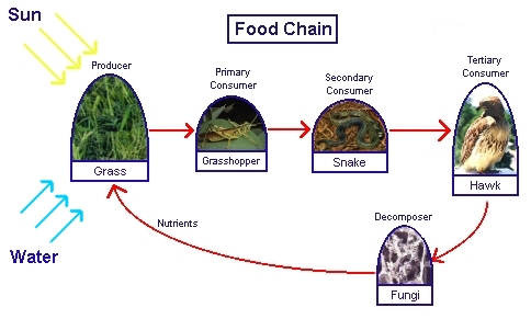 food chain in forest ecosystem. Food Chains